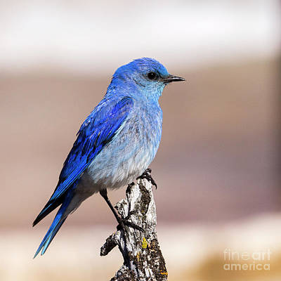 Photograph - Mountain Blue Bird by Sonya Lang