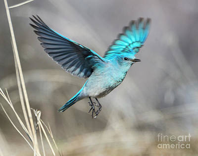 Bluebird Photograph - Mountain Blue by Mike Dawson