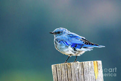 Photograph - Mountain Bluebird 2 by Ben Graham