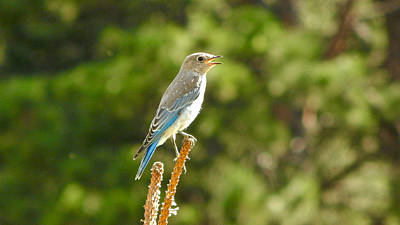 Photograph - Mountain Bluebird 4 by Dan Miller