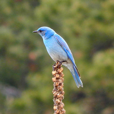 Photograph - Mountain Bluebird 5 by Dan Miller