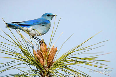 Photograph - Mountain Bluebird by Albert Seger