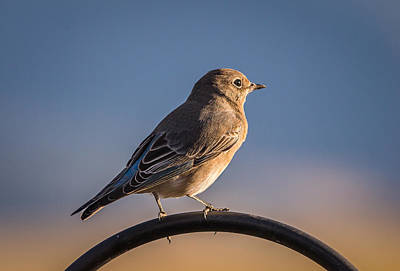 Photograph - Mountain Bluebird At Sunset by John Brink