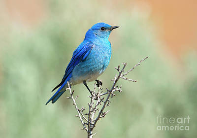 Mountain Royalty-Free and Rights-Managed Images - Mountain Bluebird Beauty by Mike Dawson