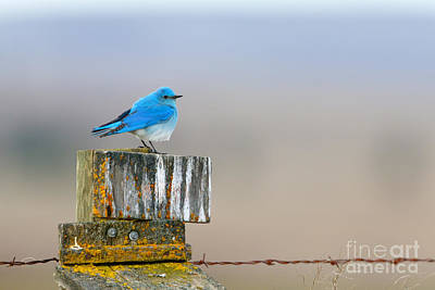 Trush Photograph - Mountain Bluebird by Beve Brown-Clark Photography