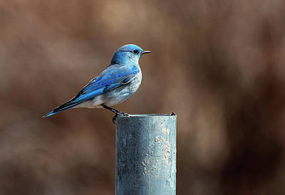 Photograph - Mountain Bluebird by Eric Nielsen