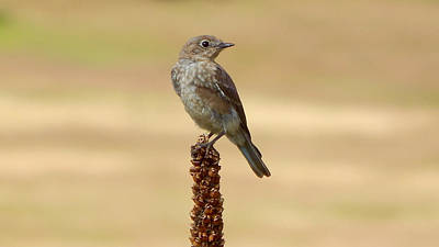 Photograph - Mountain Bluebird Female by Dan Miller
