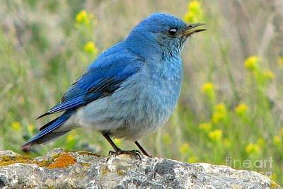 Photograph - Mountain Bluebird by Frank Townsley