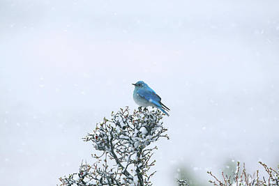 Mountain Bluebird In Snow Art Print by Pat Gaines