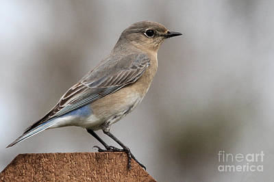 Photograph - Mountain Bluebird by Meg Rousher