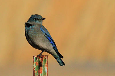Photograph - Mountain Bluebird by Paul Marto