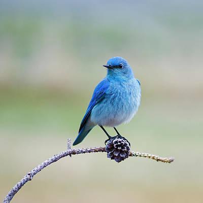 Photograph - Mountain Bluebird Square by Scott Wheeler