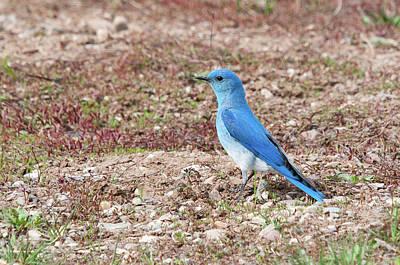 Photograph - Mountain Bluebird by Steve Stuller