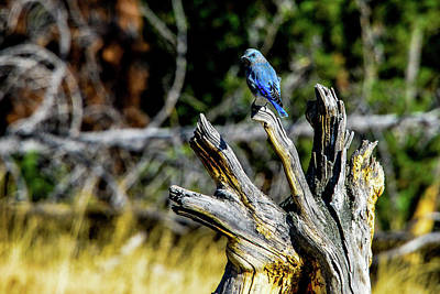 Photograph - Mountain Bluebird, Yellowstone by Marilyn Burton