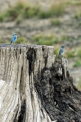 Photograph - Mountain Bluebirds by Belinda Greb