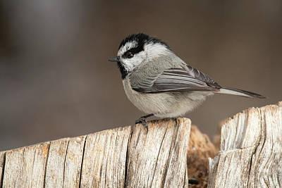 Photograph - Mountain Chickadee by Celine Pollard
