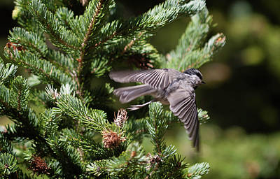 Photograph - Mountain Chickadee In Flight by Marilyn Hunt