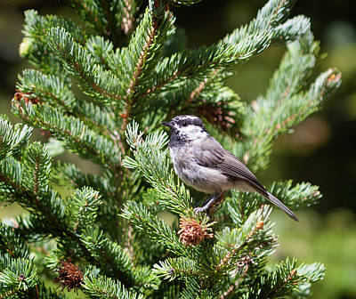 Photograph - Mountain Chickadee by Marilyn Hunt