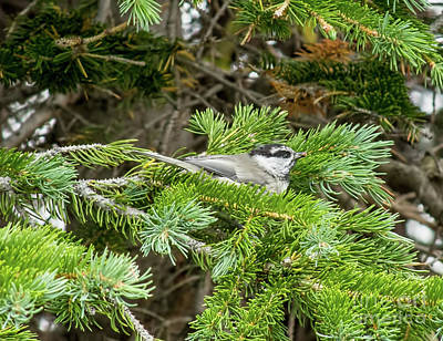 Photograph - Mountain Chickadee by Steven Parker
