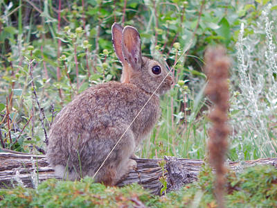 Photograph - Mountain Cottontail by Dan Miller