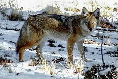 Photograph - Mountain Coyote by Marilyn Burton