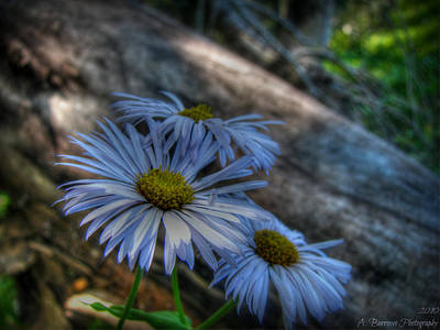 Mountain Daisies And A Downed Spruce Art Print