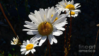 Art Print featuring the photograph Mountain Daisy by Larry Keahey