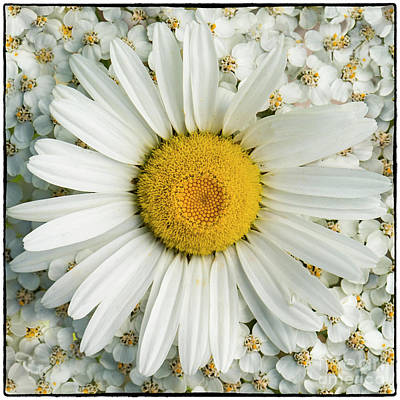 Photograph - Mountain Daisy by Sonya Lang