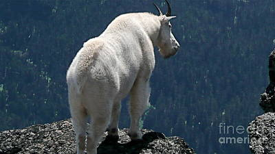 Art Print featuring the photograph Mountain Goat 2 by Sean Griffin