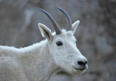 Photograph - Mountain Goat 3 by Whispering Peaks Photography