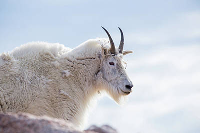 Photograph - Mountain Goat  by Kari Andresen