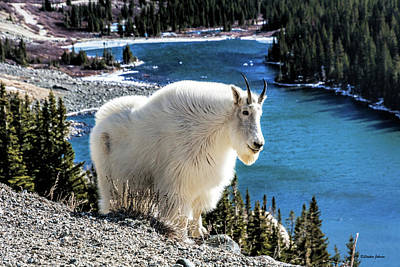 Photograph - Mountain Goat At Lower Blue Lake by Stephen Johnson