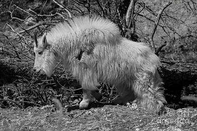 Photograph - Mountain Goat Black And White by Steve Triplett