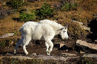 Photograph - Mountain Goat Close Encounter by Carolyn Derstine