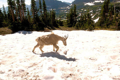 Photograph - Mountain Goat Crossing A Snow Patch by Jeff Swan