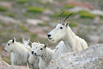 Art Print featuring the photograph Mountain Goat Family by Scott Mahon