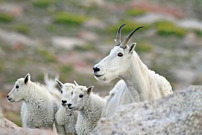 Rocky Mountain Sheep Photograph - Mountain Goat Family by Scott Mahon