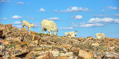 Photograph - Mountain Goat Family by Spencer Baugh