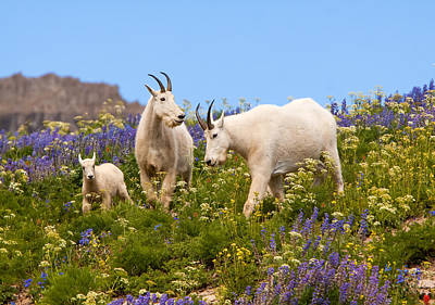 Photograph - Mountain Goat Heaven by Kent Keller