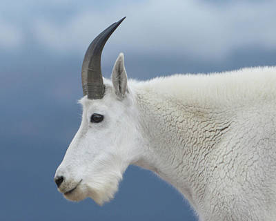 Photograph - Mountain Goat In Profile by Marie Leslie