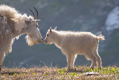 Photograph - Mountain Goat Kid by Jack Bell