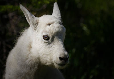 Photograph - Mountain Goat Kid Portrait by Rikk Flohr