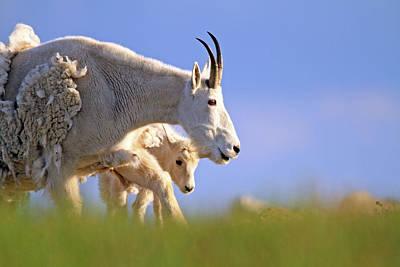 Rocky Mountain Sheep Photograph - Mountain Goat Light by Scott Mahon