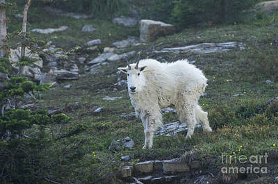 Photograph - Mountain Goat by Louise Magno