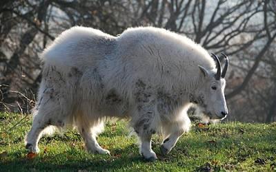 Sheep Digital Art - Mountain Goat by Maye Loeser