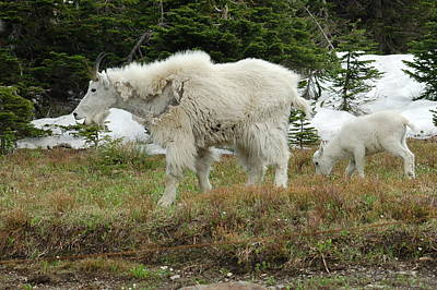 Mountain Goat Mom And Baby Art Print by D Nigon