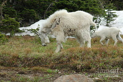 Mountain Goat Mom And Baby II Art Print by D Nigon