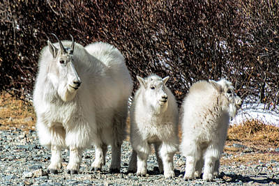 Photograph - Mountain Goat Mom And Kids by Stephen Johnson