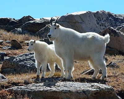 Photograph - Mountain Goat Mother And Kid by Tranquil Light  Photography