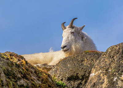 Design Photograph - Mountain Goat On Rock by Marv Vandehey